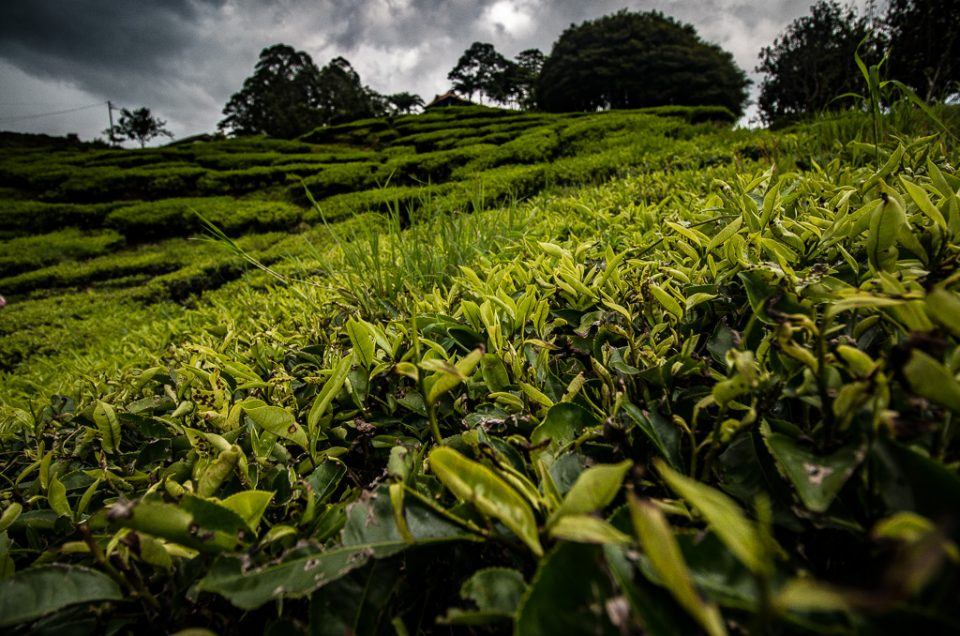 Photos From The Road: All The Tea In Malaysia