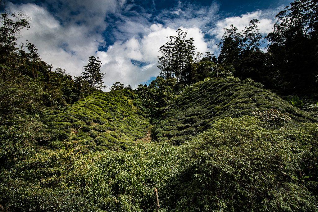 Cameron Highlands Boh Tea Plantation Malaysia