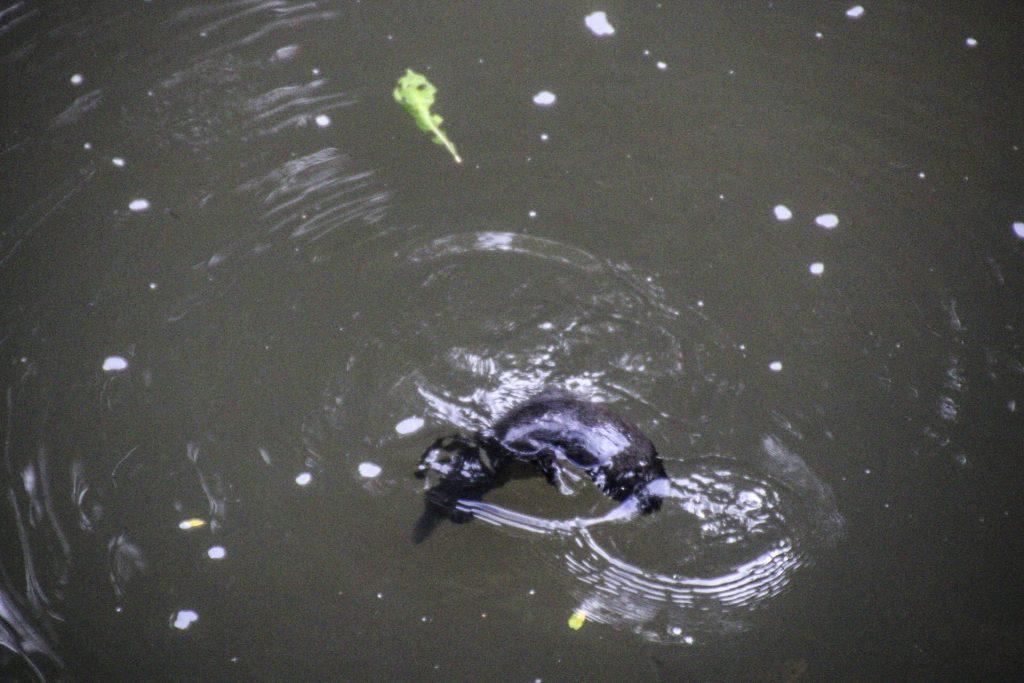 Mackay Platypus Broken River